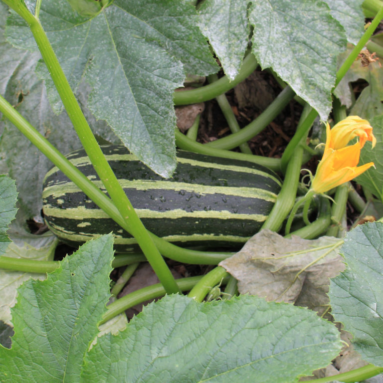 Striped Squash In Garden Under Leaves