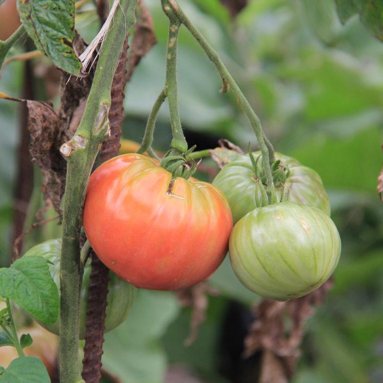 Three Tomatoes On Vine