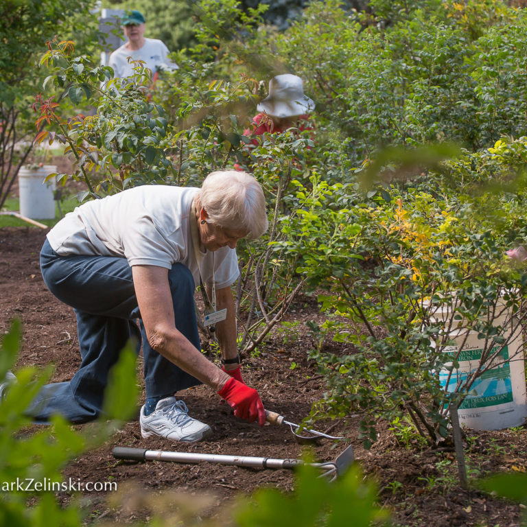 Volunteer Gardener Working Base Of Shrub