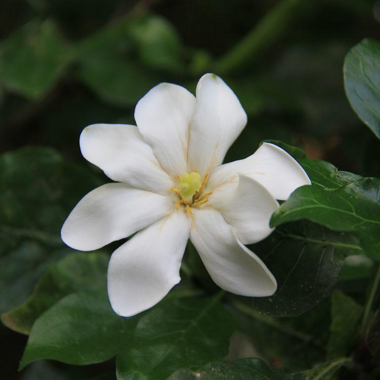 White Gardenia Thunbergia Flower