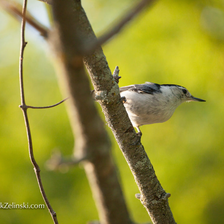 White Breasted Nuthatch on Branch