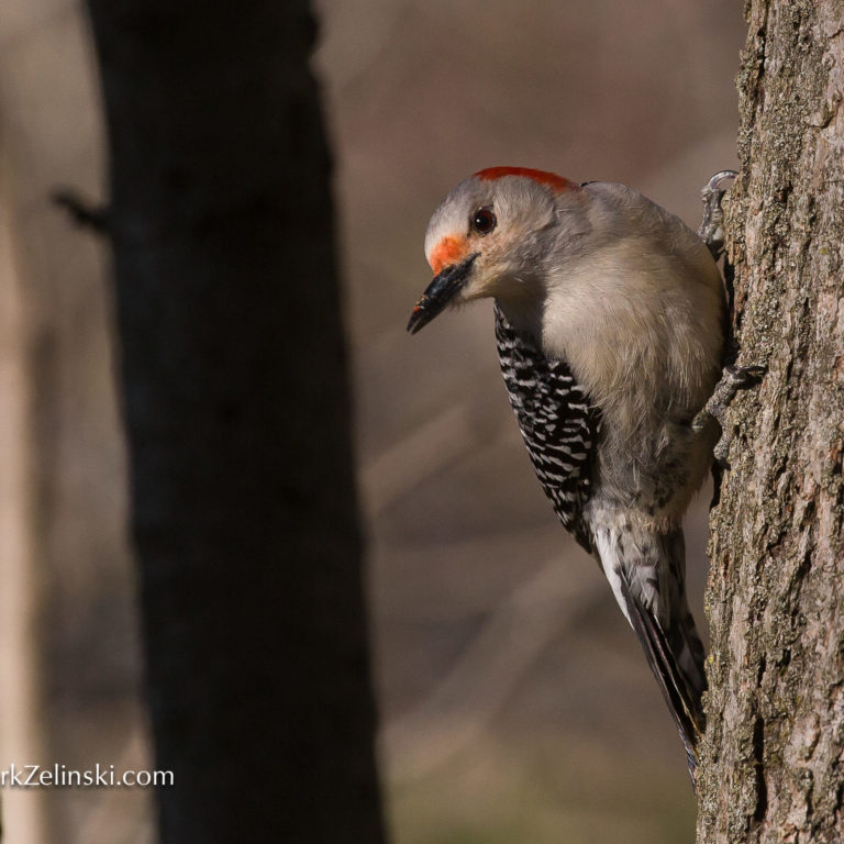 Woodpecker On Side Of Tree In Winter