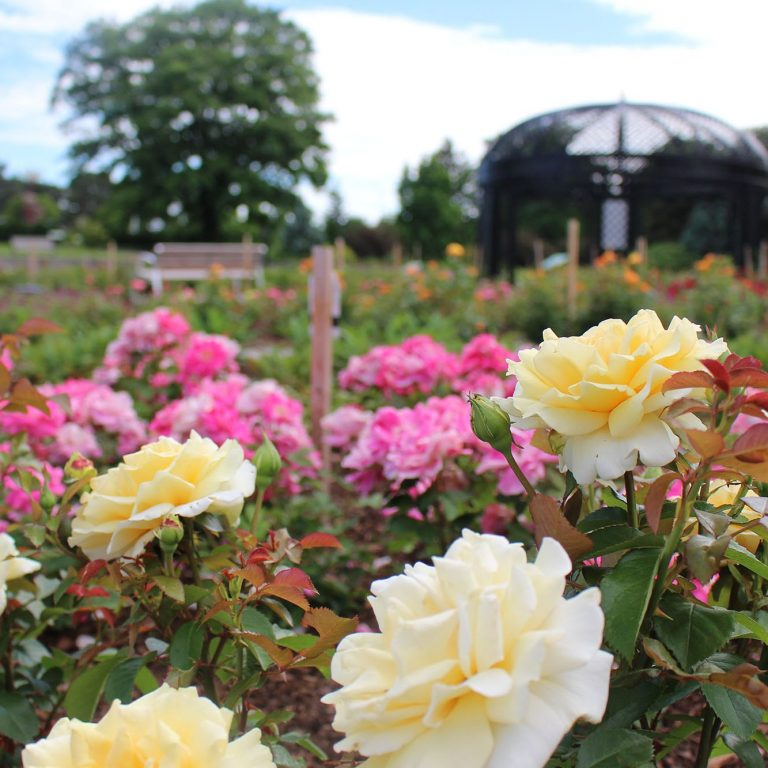 Yellow And Pink Garden Roses Hendrie Park