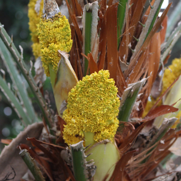 Yellow Bunches Of Blooms On European Fan Palm