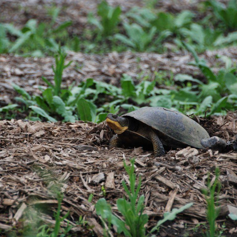 blandings turtle nesting in some mulch