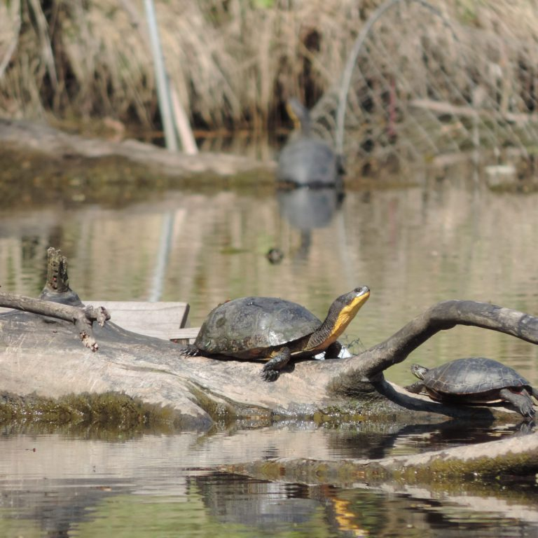 Blandings turtle basking on a sunken branch with other painted turtles