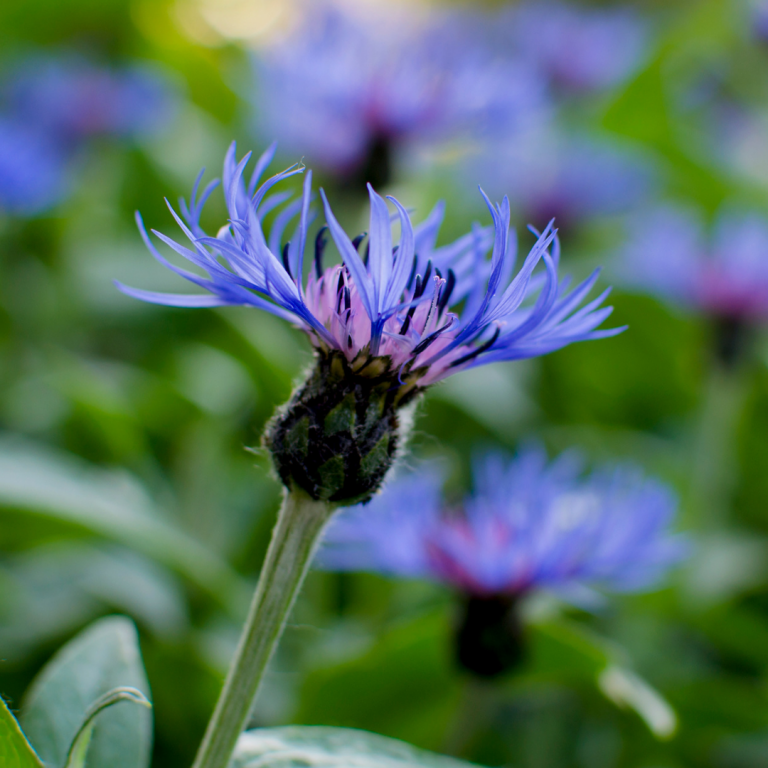 Close up shot of a bright blue cornflower in focus. Many more cornflowers are blurred in the background.