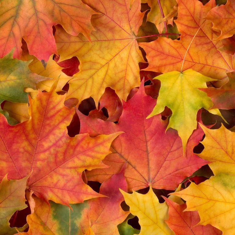 Fallen maple leaves in fall colours