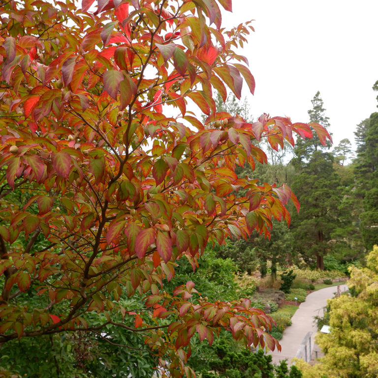 Japanese Stewartia Autumn Leaves