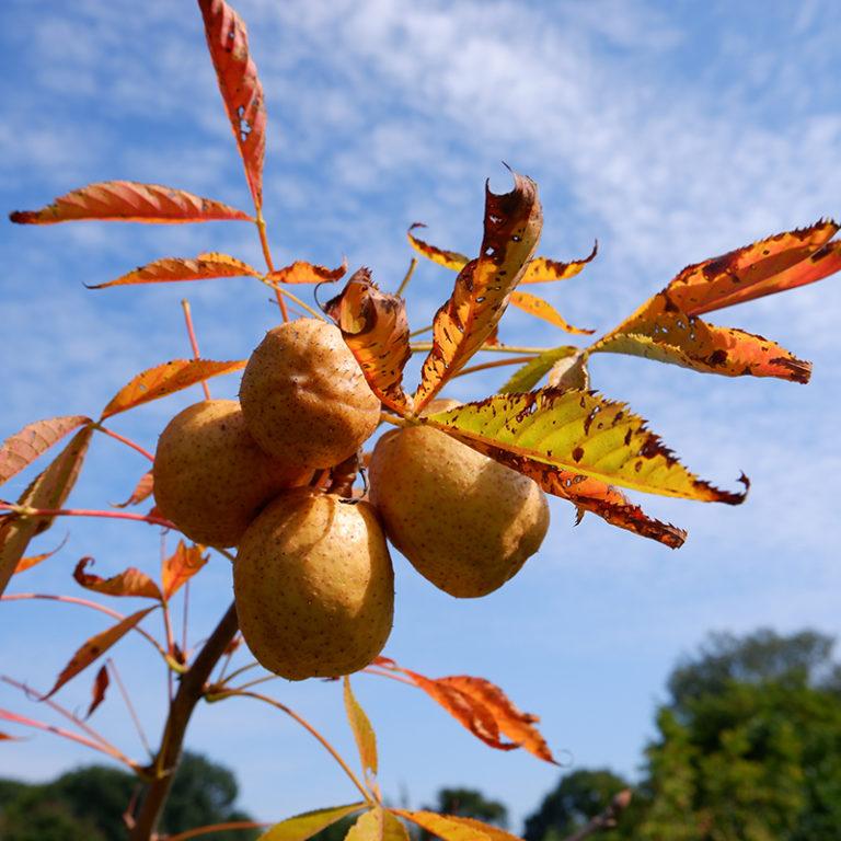 Ohio Buckeye Fruiting