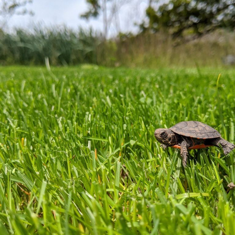 small painted turtle hatchling in the grass