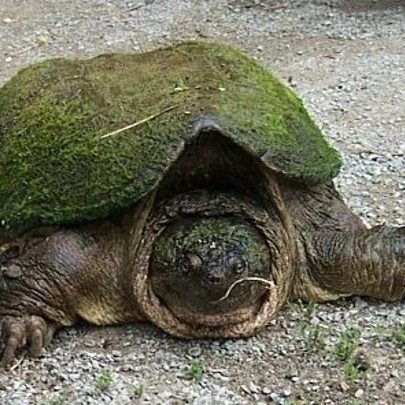 large snapping turtle on a gravel path