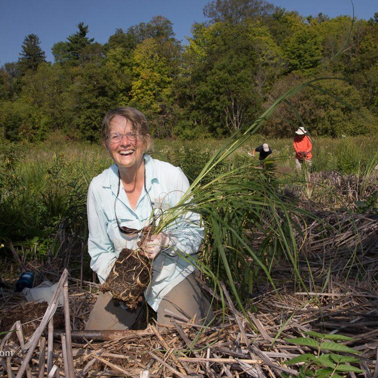 Volunteer Planting Native Species In Wetland Credit Markzelinski.com