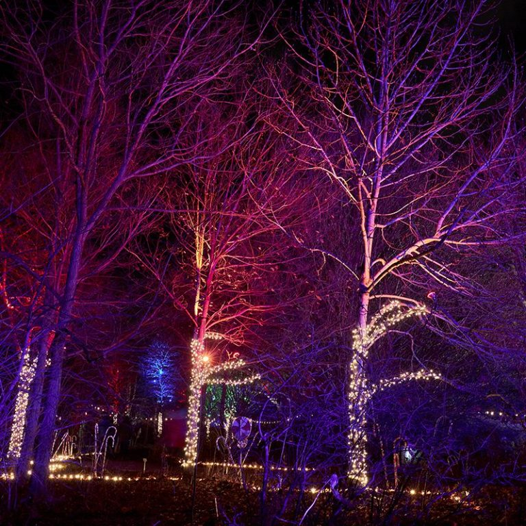 Grouping of trees lit with flood lights and wrapped lights along path in Winter Wonders