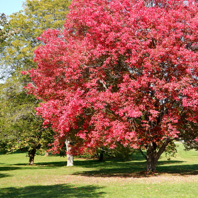 Arboretum Large Tree With Red Leaves In Autumn