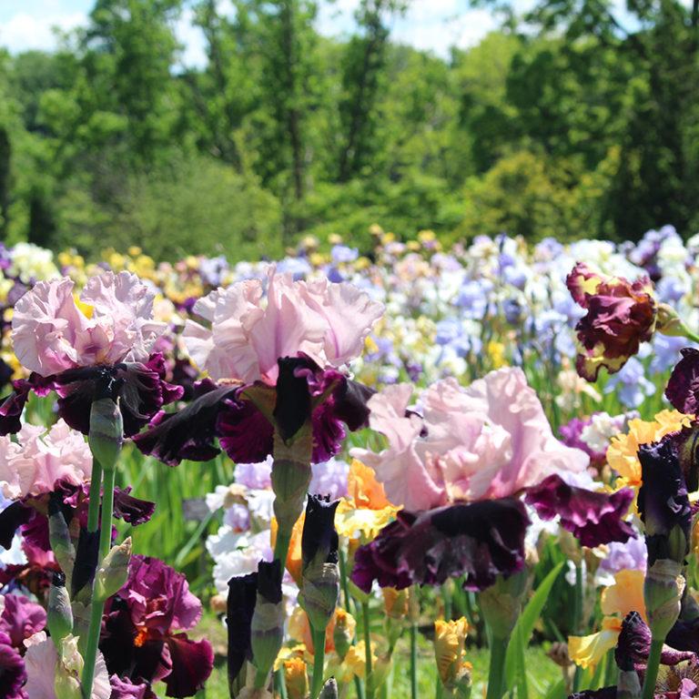Bed Of Multi Coloured Iris