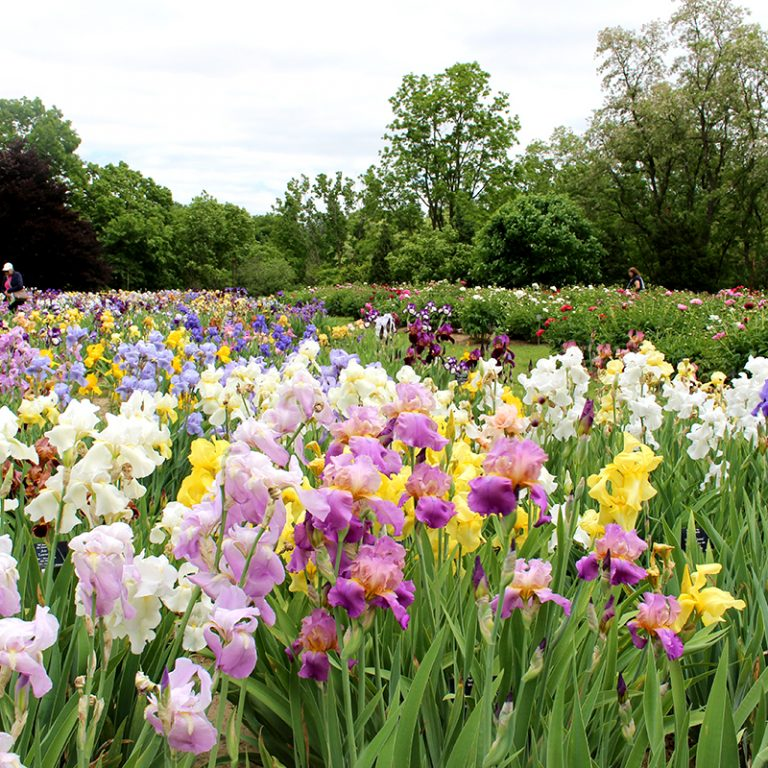 Bed Of Colourful Iris In Bloom At Laking Garden