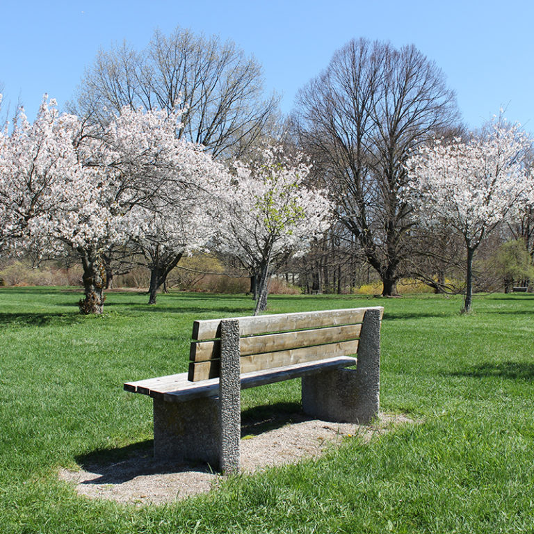 Bench With Small Flowering Cherry Blossom Trees In Bloom