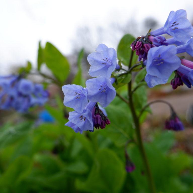Bethleham Lungwort In Bloom