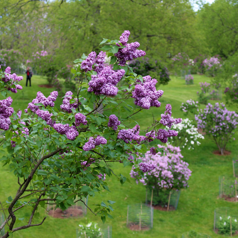 Branch Of Purple Lilacs With Dell In Background