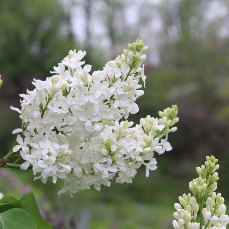 Bunch Of White Lilacs In Bloom