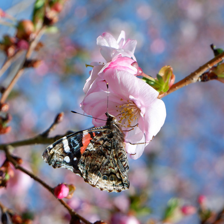 Butterfly On Cherry Blossom