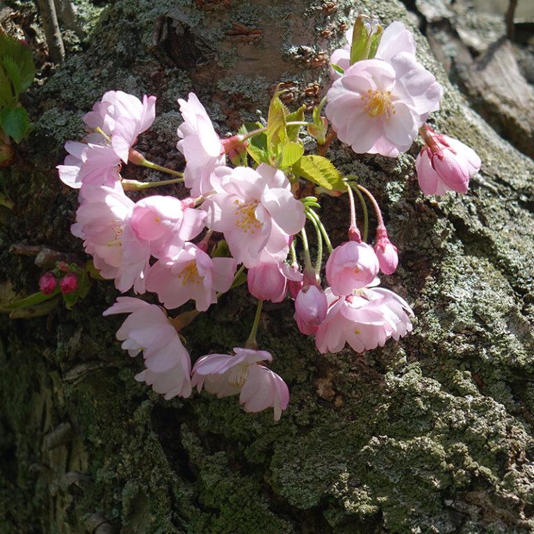 Cluster Of Cherry Blossoms Against Bark