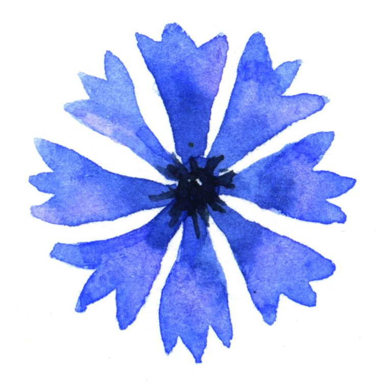 Watercolour painting of a blue cornflower