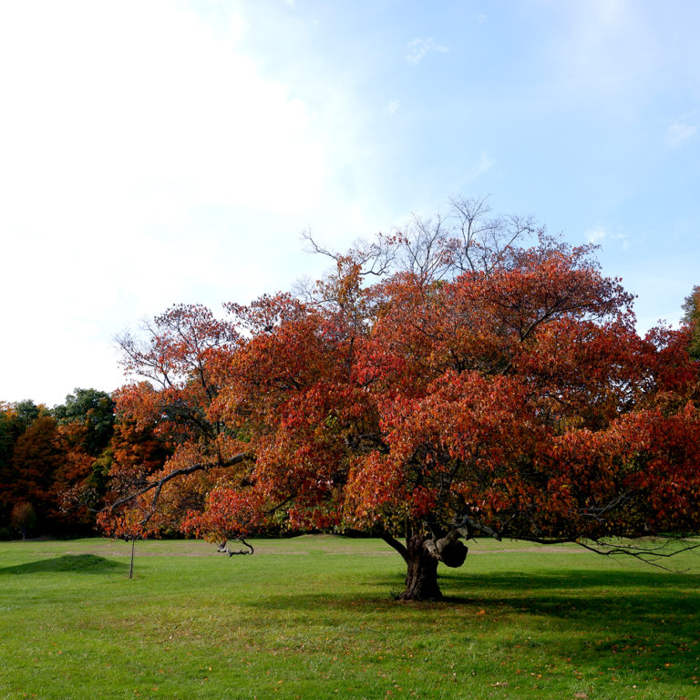 Crabapple Tree In Fall Turning Red