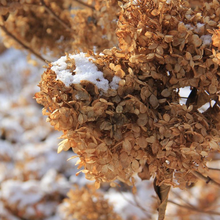 Dried Hydrangea With Snow