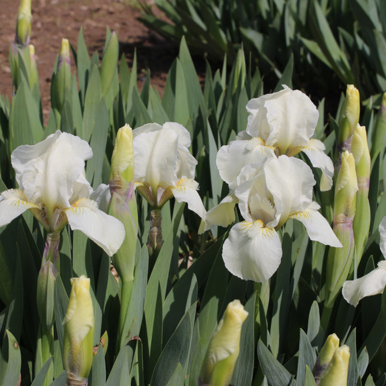 Dwarf Iris In Bloom