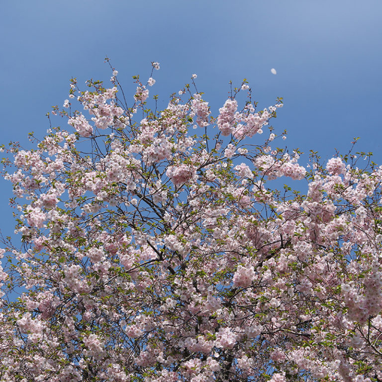 Flowering Cherry Blossoms Against Sky