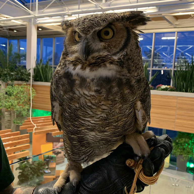 Great Horned Owl At Wildlife Rescue Exhibit