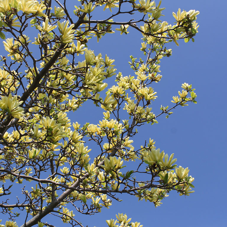 Green Cucumber Magnolia Flowers Against Sky
