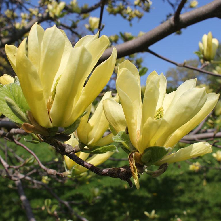 Green Cucumber Magnolia Flowers Blooming
