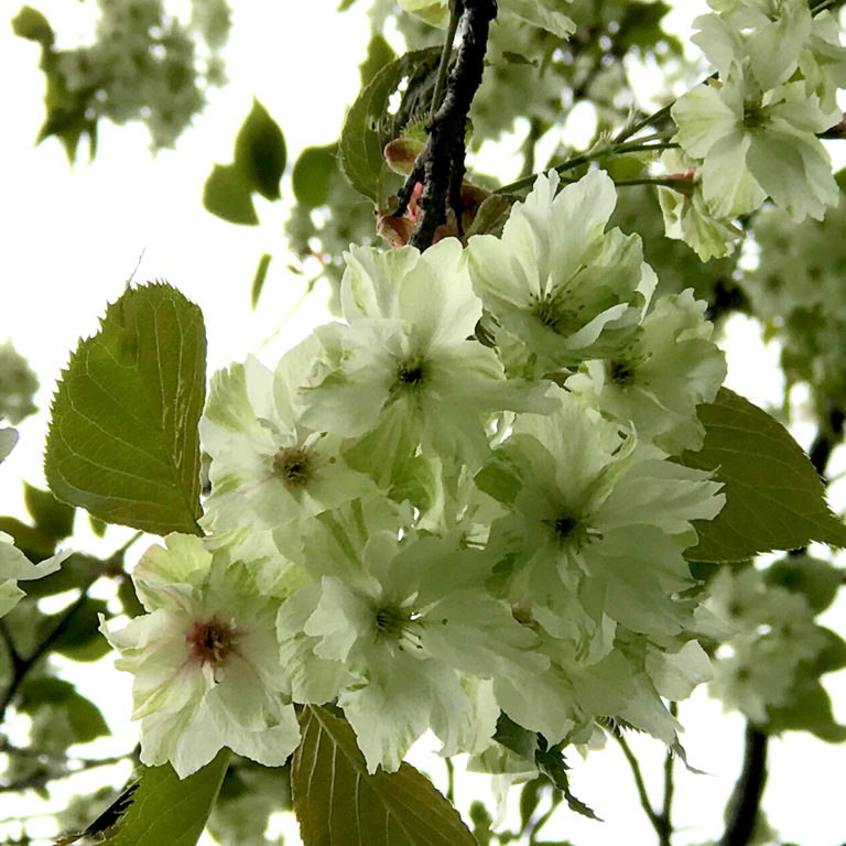 Green Flowering Cherry Blossoms