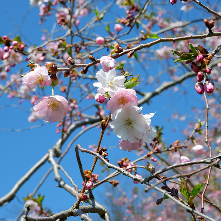 Grouping Of Flowering Cherry Blossoms On Branches