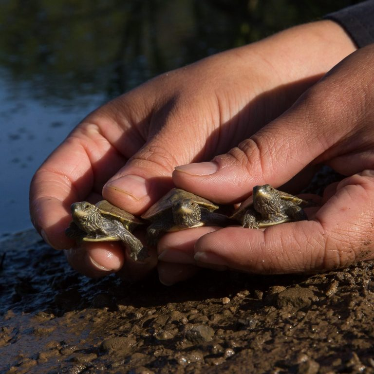 hands holding three baby turtles ready to release