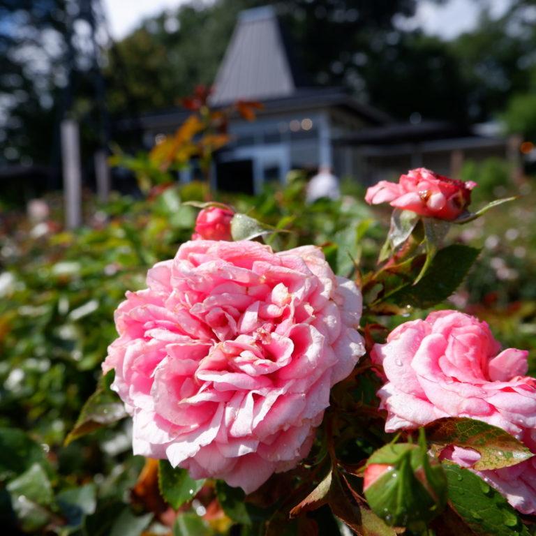 Hendrie Park Pink Jolie Veranda Rose