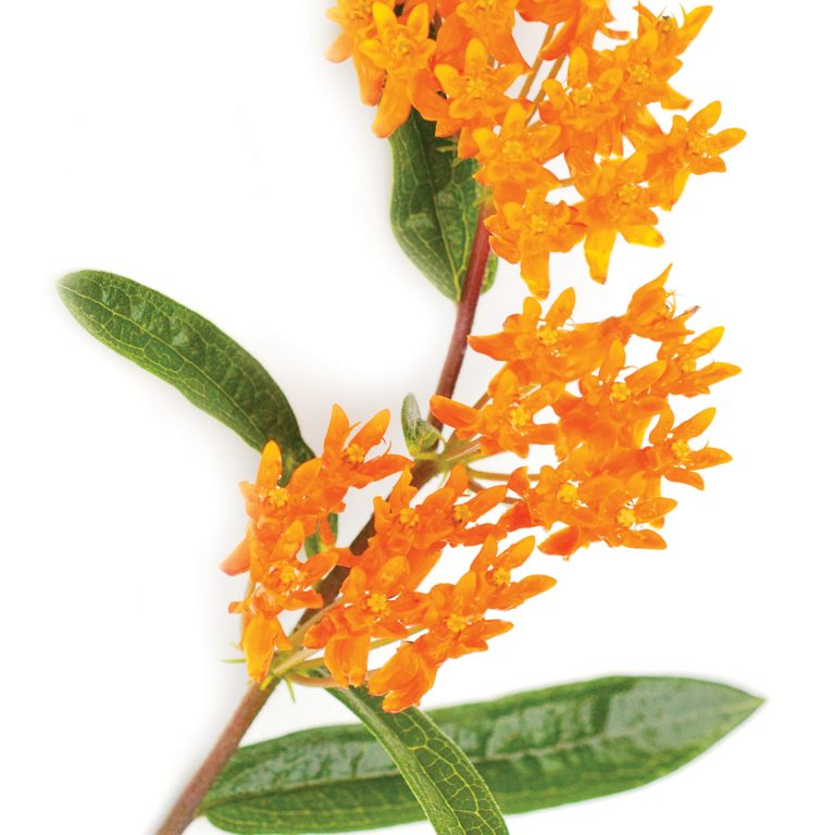 Sprig of Butterfly weed laying flat on a white background. Bunches of small orange flowers with four pea pod shaped green leaves.