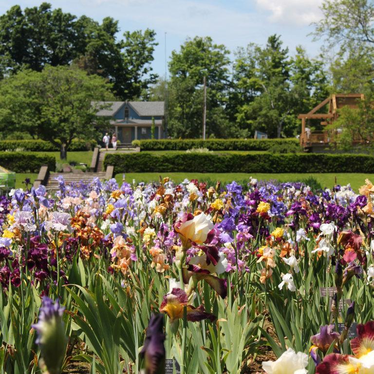 Iris Beds At Laking Garden In Bloom