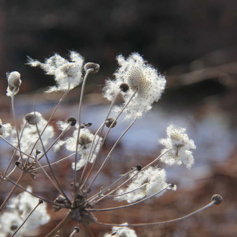 Japanese Anemone Plant With White Seedheads In Winter