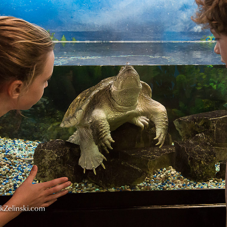 Kids Watching Snapping Turtle In Tank Credit Markzelinski.com