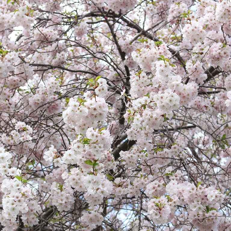 Large Bunch Of Flowering Cherry Blossoms On Branch