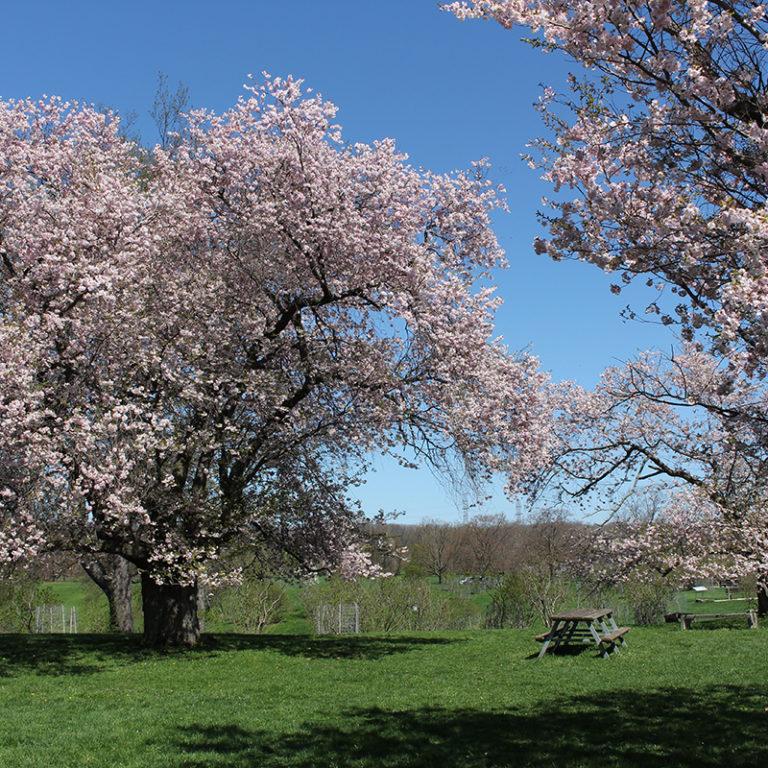 Large Sakura Flowering Cherry Trees In Bloom