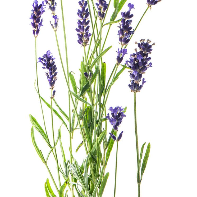 Bundle of lavender laying flat on a white background