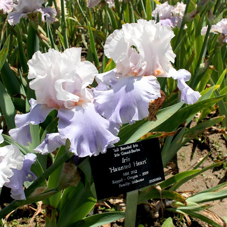 Light Purple Iris With Plant Label