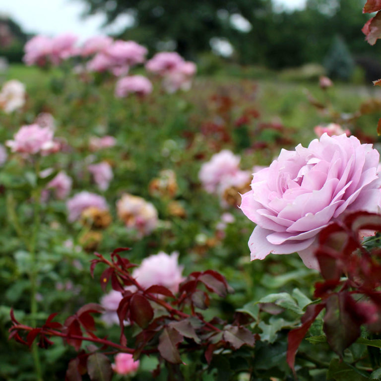 Light Purple Roses In Rose Garden