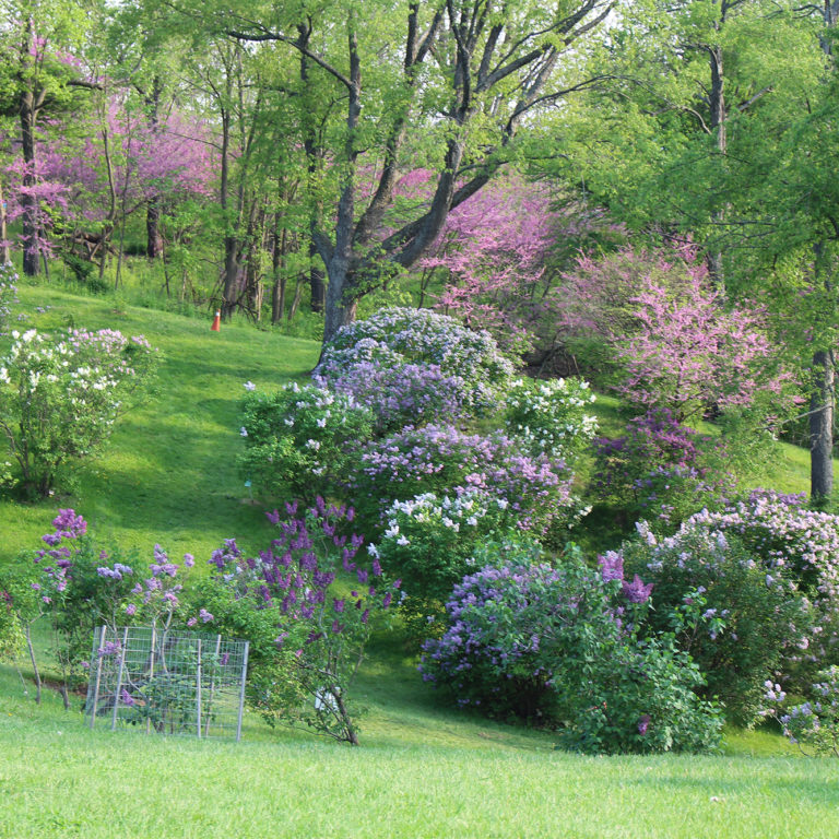 Lilac Collection In Bloom Climbing Up Hill Arboretum