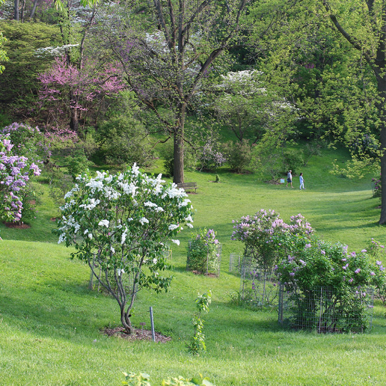 Lilac Dell In Arboretum In Bloom